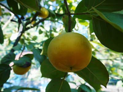 太秋柿 古川果樹園 収穫間近!さらなる手間ひまをかけて_a0254656_13314540.jpg