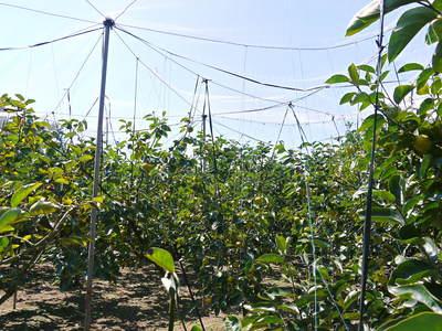 太秋柿 古川果樹園 収穫間近!さらなる手間ひまをかけて_a0254656_1340728.jpg