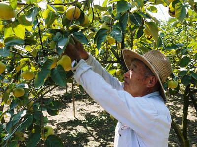 太秋柿 古川果樹園 収穫間近!さらなる手間ひまをかけて_a0254656_15551562.jpg