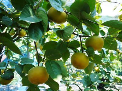 太秋柿 古川果樹園 収穫間近!さらなる手間ひまをかけて_a0254656_16174423.jpg