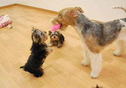 かなり可愛い♪ヨーキー仔犬のオーナーさん募集!_e0236430_23431027.jpg