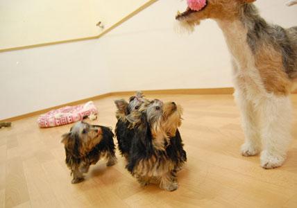 かなり可愛い♪ヨーキー仔犬のオーナーさん募集!_e0236430_23431028.jpg