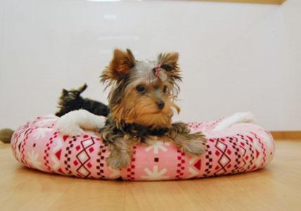 かなり可愛い♪ヨーキー仔犬のオーナーさん募集!_e0236430_23431128.jpg