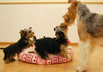 かなり可愛い♪ヨーキー仔犬のオーナーさん募集!_e0236430_23431296.jpg