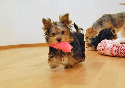 かなり可愛い♪ヨーキー仔犬のオーナーさん募集!_e0236430_23431350.jpg