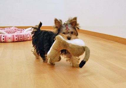 かなり可愛い♪ヨーキー仔犬のオーナーさん募集!_e0236430_2343877.jpg