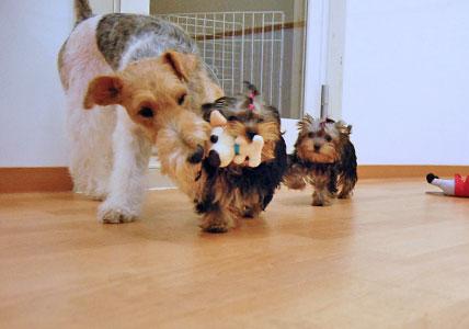 かなり可愛い♪ヨーキー仔犬のオーナーさん募集!_e0236430_2343974.jpg