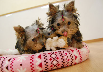 かなり可愛い♪ヨーキー仔犬のオーナーさん募集!_e0236430_2343999.jpg