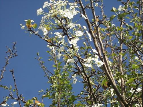 え^~梨の花が満開....サツマイモの収穫_b0137932_125142.jpg