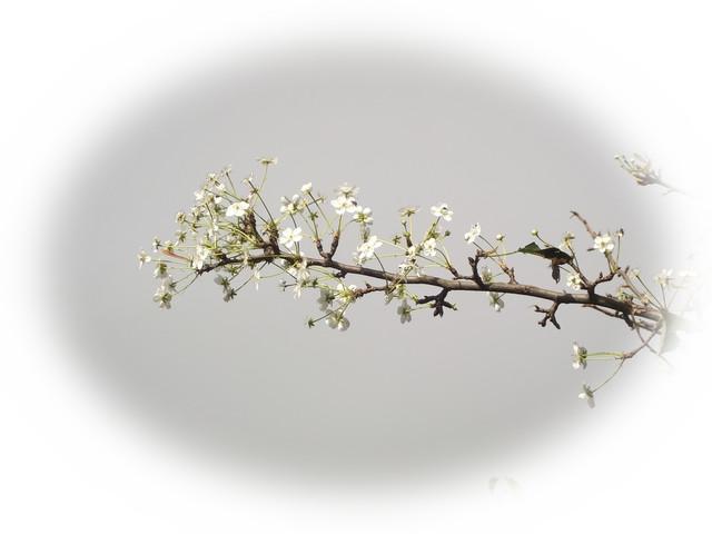 え^~梨の花が満開....サツマイモの収穫_b0137932_2194051.jpg