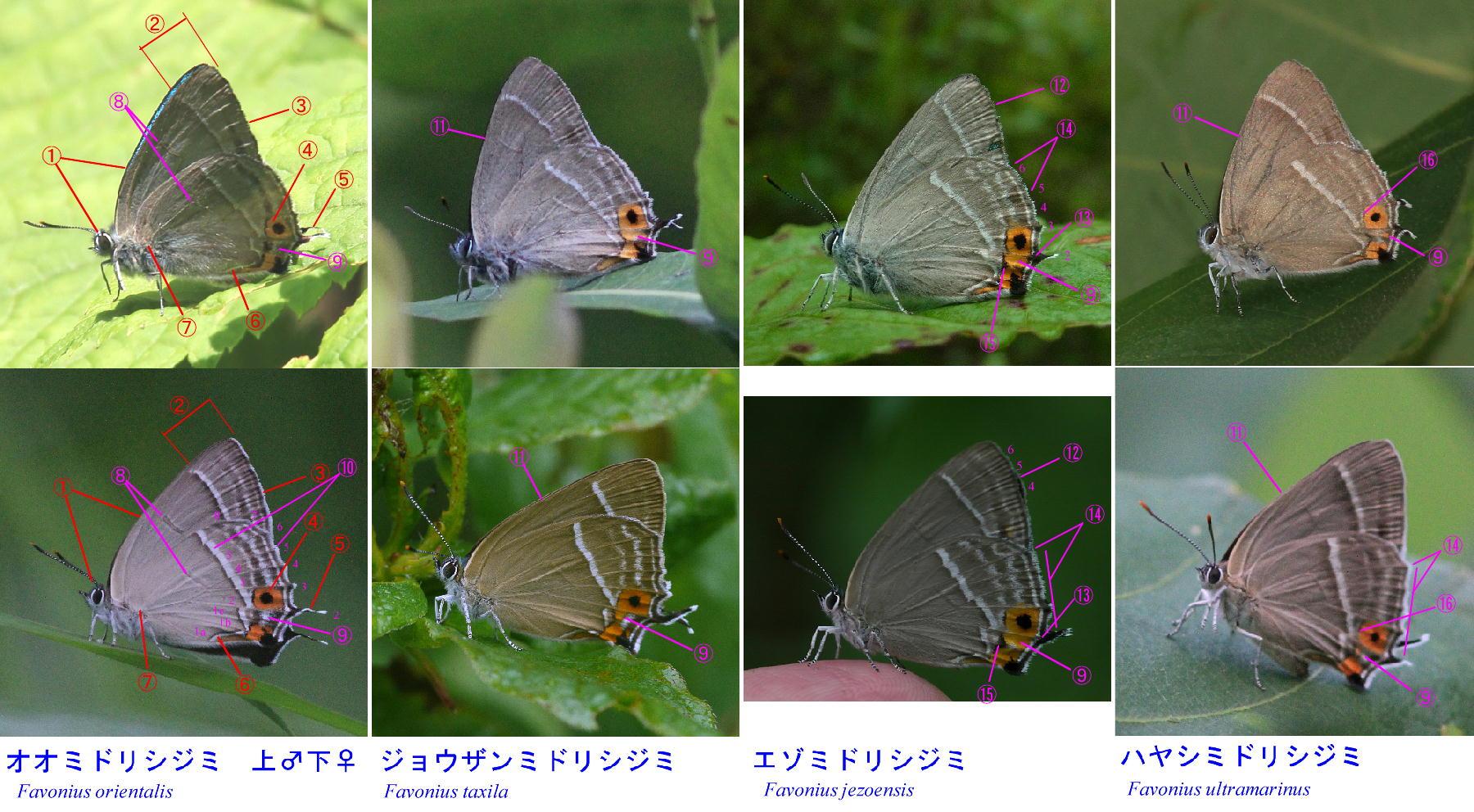 類似☆ オオミドリ属4種の翅裏比較図_a0146869_924240.jpg