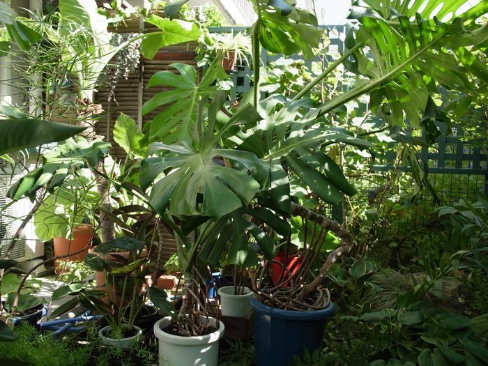 台風その後と観葉植物いろいろ_e0276411_1226585.jpg