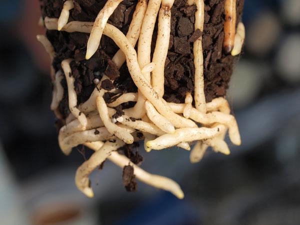 シンビジウムの肥料_a0118539_18395555.jpg