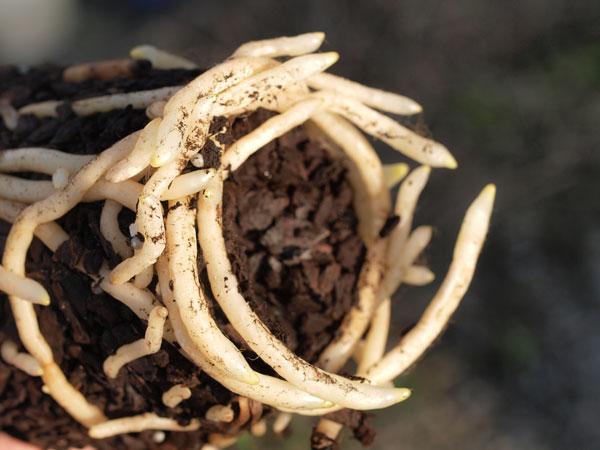 シンビジウムの肥料_a0118539_18401838.jpg