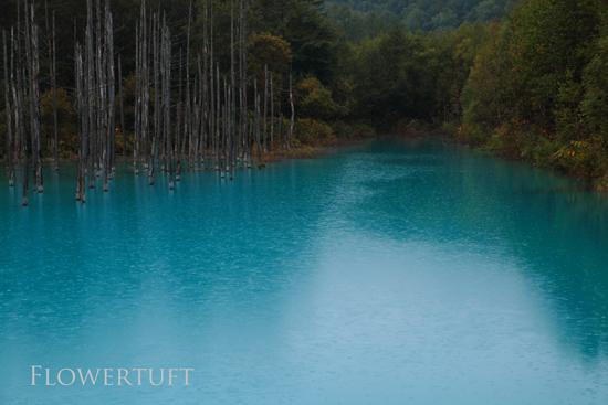 雨の青い池―北海道美瑛①_c0137872_1492264.jpg