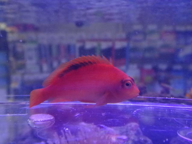 121003 海水魚・水草・淡水魚・金魚_f0189122_1259555.jpg