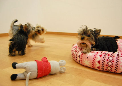 遊びた盛りの仔犬たち (*^_^*)_e0236430_2228320.jpg