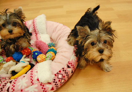 遊びた盛りの仔犬たち (*^_^*)_e0236430_2228354.jpg