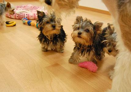 遊びた盛りの仔犬たち (*^_^*)_e0236430_222859.jpg