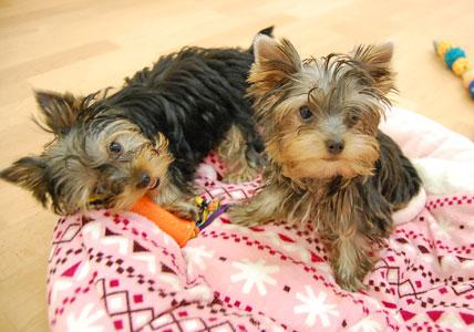 遊びた盛りの仔犬たち (*^_^*)_e0236430_2228823.jpg
