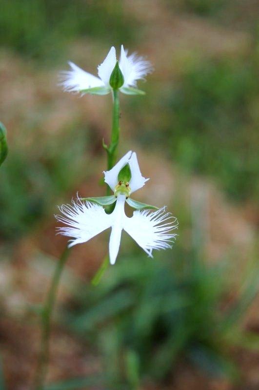 今頃ですが・・・真夏の白い花_a0122932_1351125.jpg