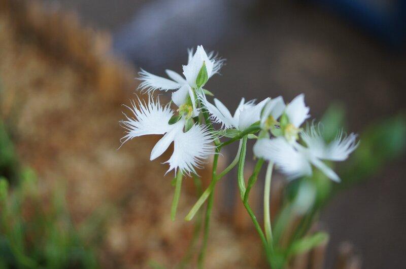 今頃ですが・・・真夏の白い花_a0122932_13533923.jpg