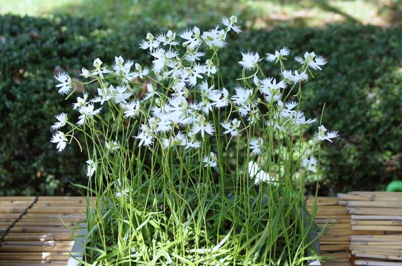 今頃ですが・・・真夏の白い花_a0122932_13541646.jpg