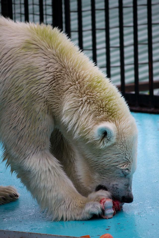 おびひろ動物園 ホッキョクグマ記録9 アイラ_a0016730_19474710.jpg