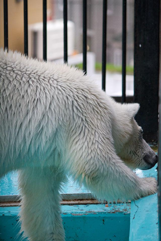 おびひろ動物園 ホッキョクグマ記録10 アイラ_a0016730_2062619.jpg