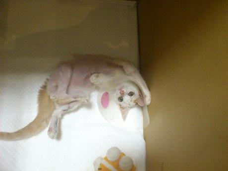 【獣医師監修】猫が骨折した時にかかる治療費は? …