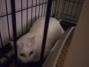 白猫にゃんず☆_b0271465_0414129.jpg