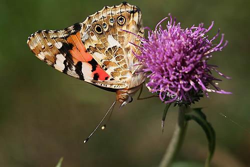ルリマツリ、コリウスの丘。蝶たち_f0030085_21541712.jpg