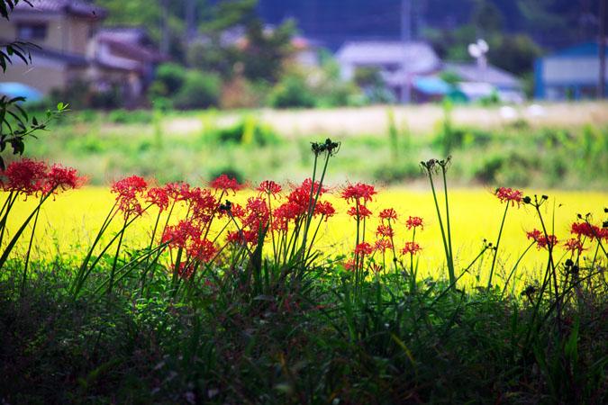 花之江の郷の彼岸花3_a0263109_1321815.jpg