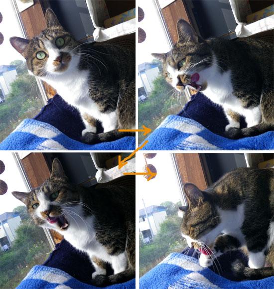 猫だらけ展のお知らせと、この頃のニャンコ♪(追記あり^^)_a0136293_15294340.jpg