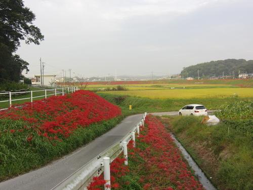 矢勝川彼岸花とウラギンシジミ_d0254540_17501314.jpg