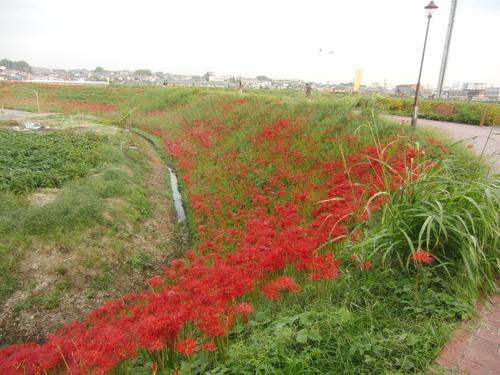 矢勝川彼岸花とウラギンシジミ_d0254540_1750291.jpg