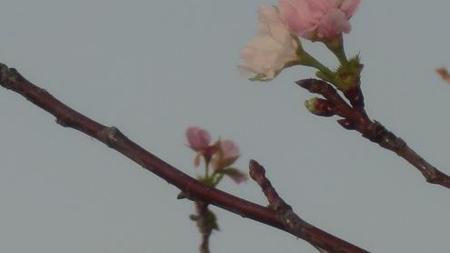 大きな魚と桜10月7日_c0249569_7505854.jpg