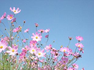 秋桜の咲く頃***_e0290872_1726256.jpg