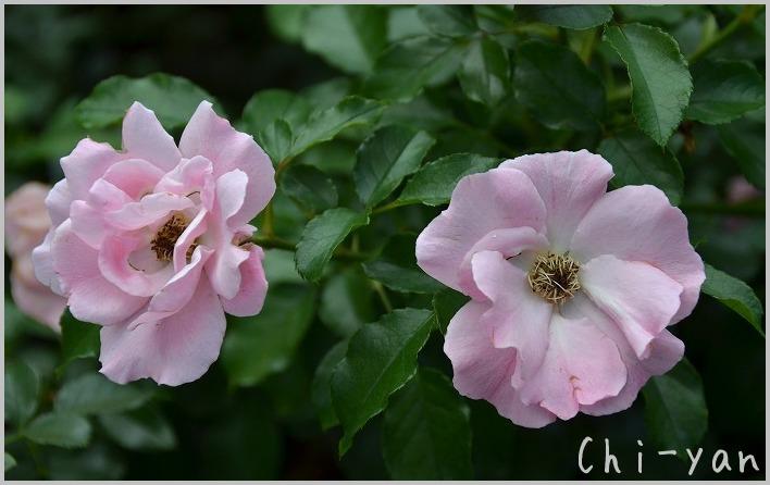 バラの香りの 「代々木公園」_e0219011_20142593.jpg