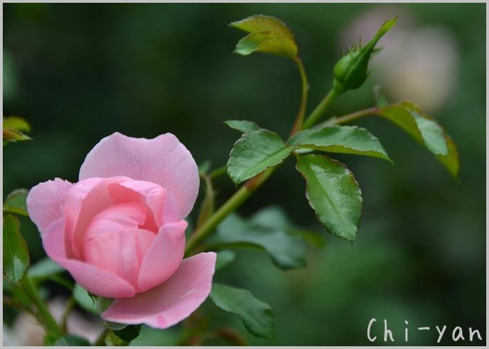 バラの香りの 「代々木公園」_e0219011_20143716.jpg