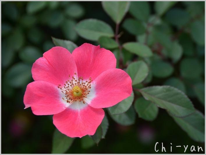 バラの香りの 「代々木公園」_e0219011_20145066.jpg