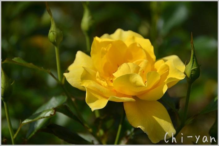 バラの香りの 「代々木公園」_e0219011_20151845.jpg