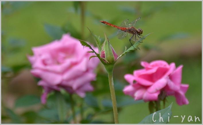 バラの香りの 「代々木公園」_e0219011_20154273.jpg
