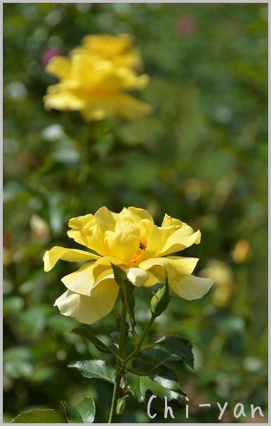 バラの香りの 「代々木公園」_e0219011_2015814.jpg