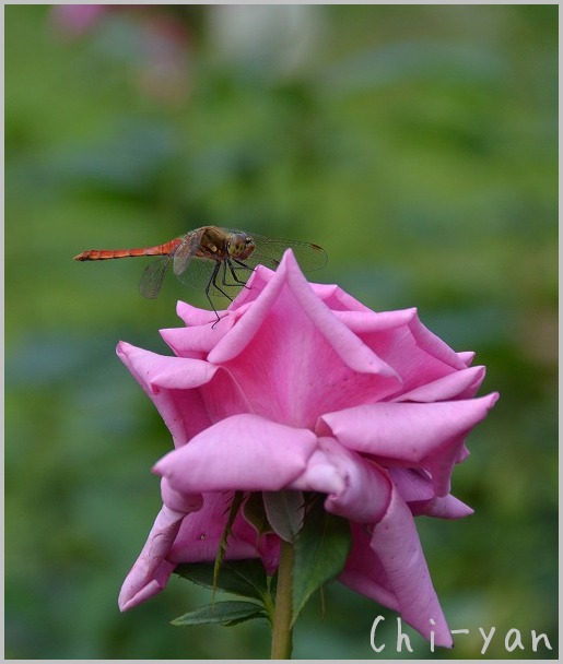 バラの香りの 「代々木公園」_e0219011_20173360.jpg