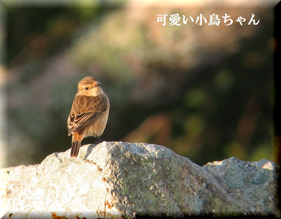 ノビタキちゃんです。_e0018678_13594161.jpg