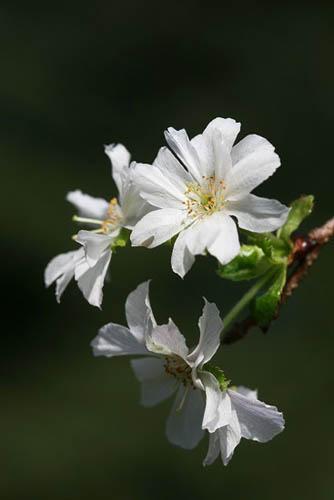 ジュウガツサクラと、原種シクラメン(武蔵丘陵森林公園-4)_f0030085_20313976.jpg