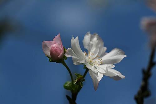 ジュウガツサクラと、原種シクラメン(武蔵丘陵森林公園-4)_f0030085_20321563.jpg