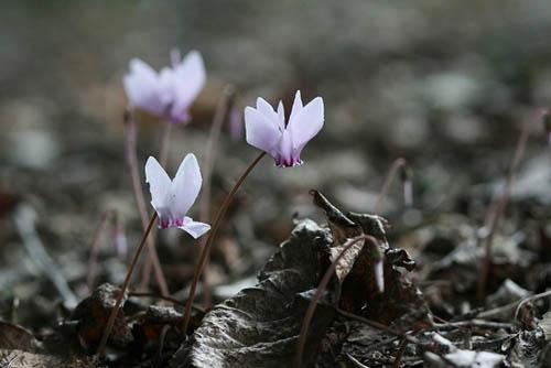 ジュウガツサクラと、原種シクラメン(武蔵丘陵森林公園-4)_f0030085_20335577.jpg