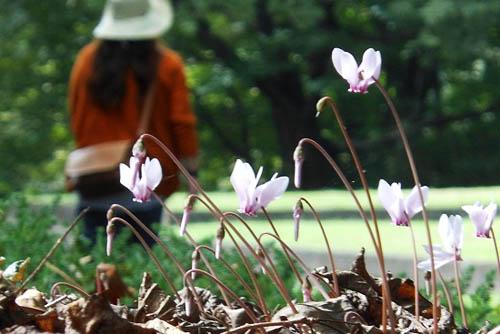 ジュウガツサクラと、原種シクラメン(武蔵丘陵森林公園-4)_f0030085_20341093.jpg